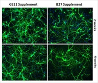 B27 to GS21 from AMSBIO is a next generation serum free neural media supplement